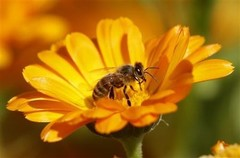 Studies show how pesticides make bees lose their way